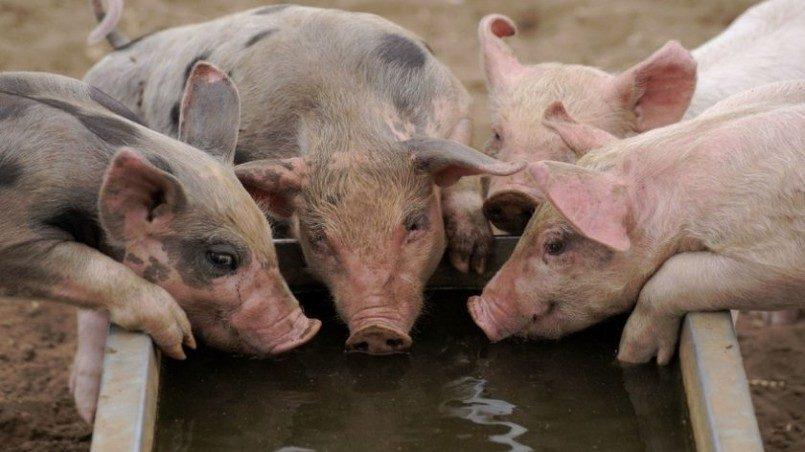 Бандиты похитили в Москве украинского авторитета и скормили его свиньям